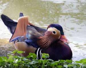 Rare mandarin duck mysteriously appears in New York's central park