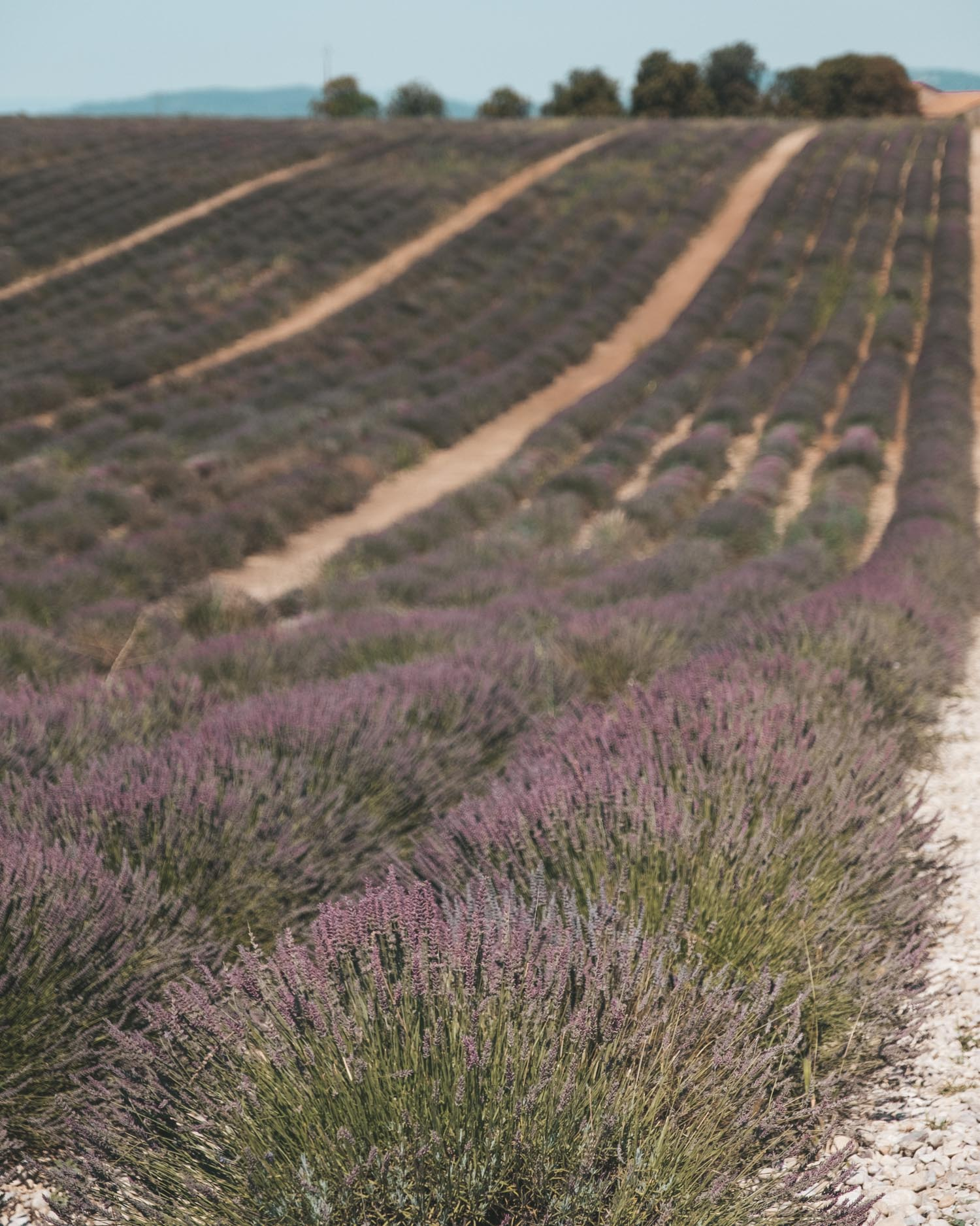 the lavender fields on the facade