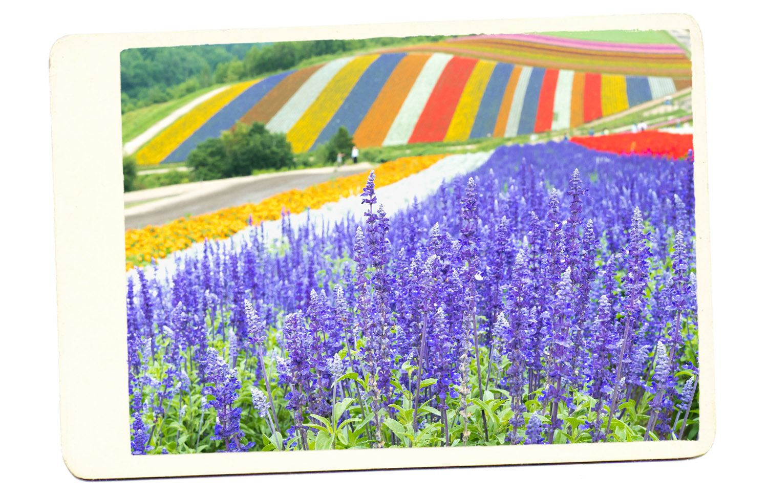 Japan fuan flowers fields