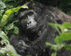 The Ultimate Gorilla Travel Guide to Uganda • The Blonde Abroad