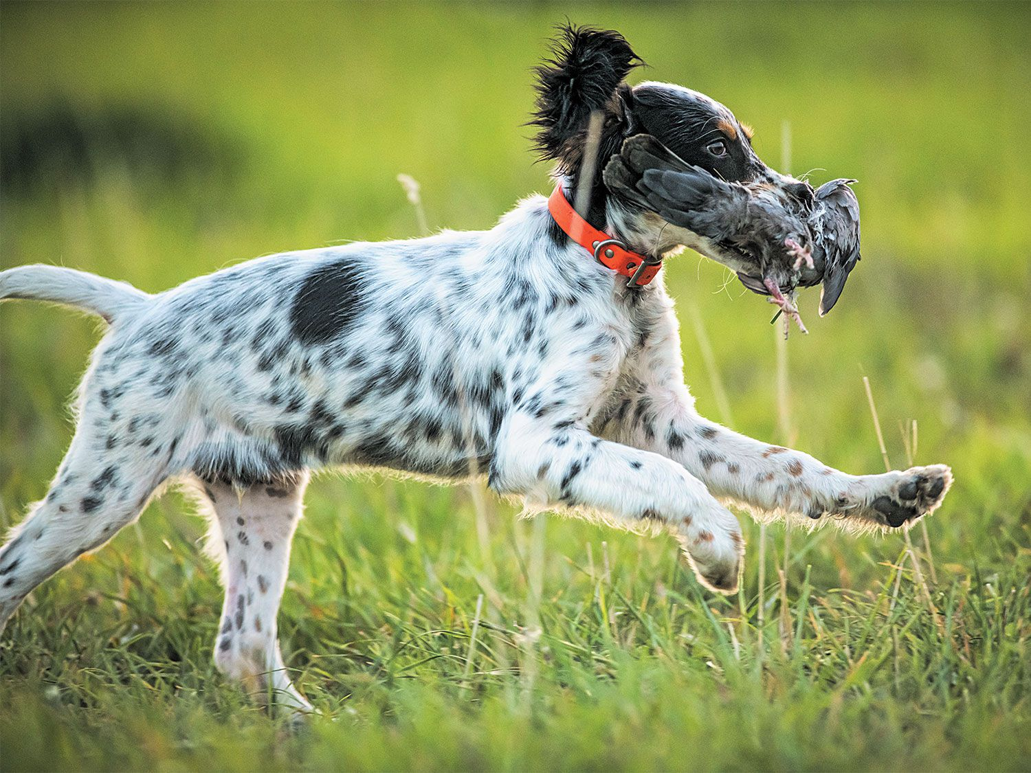 The English setter Crosby puppy basically works in recovery with a pigeon.