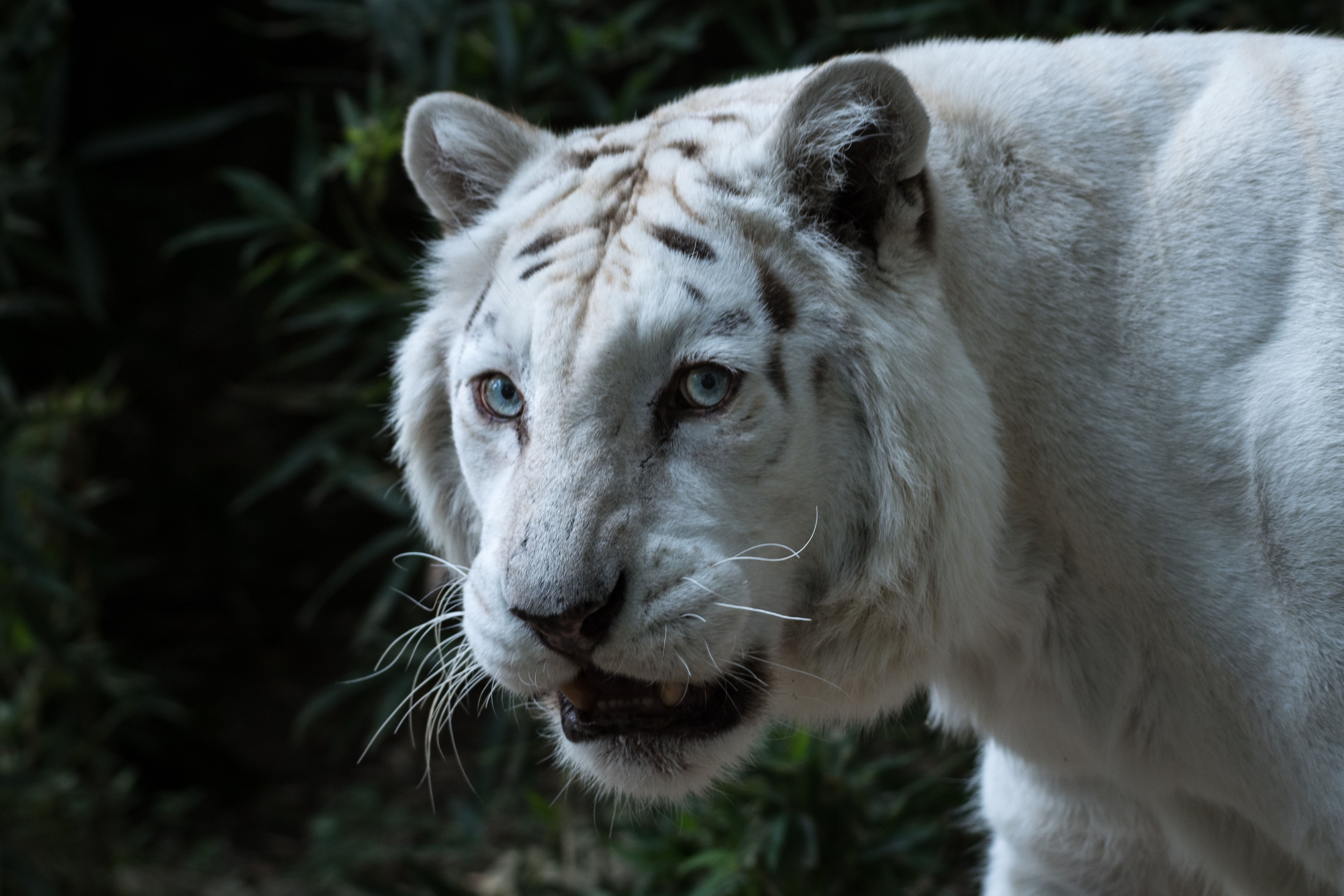 Albino tigers are often simply captives bred for specific, informal traits.